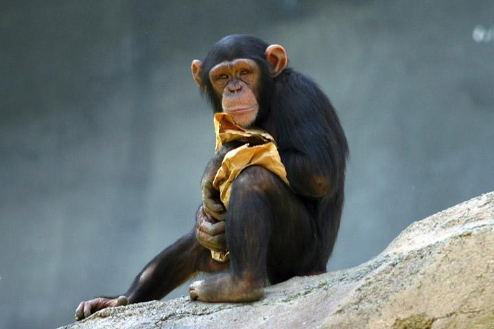 Adolescent chimpanzee by Aaron Logan